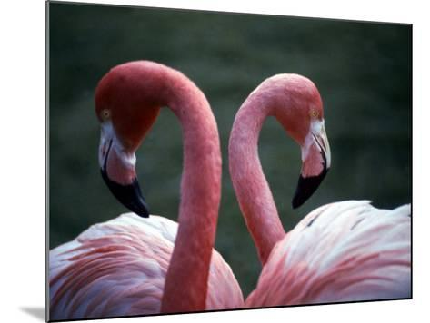 Flamingoes at Western Underwood Zoo, December 1979--Mounted Photographic Print