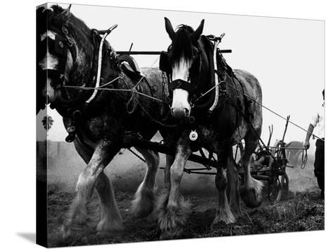 Ulster Clydesdale Pulling a Plough, July 1983--Stretched Canvas Print