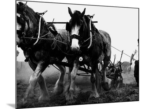 Ulster Clydesdale Pulling a Plough, July 1983--Mounted Photographic Print