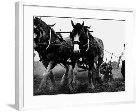 Ulster Clydesdale Pulling a Plough, July 1983--Framed Art Print