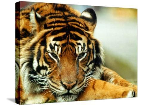 A Relaxed Tiger at London Zoo, April 1991--Stretched Canvas Print