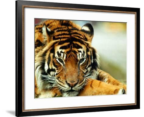 A Relaxed Tiger at London Zoo, April 1991--Framed Art Print