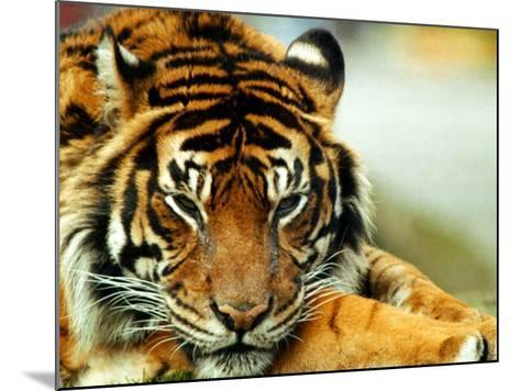 A Relaxed Tiger at London Zoo, April 1991--Mounted Photographic Print