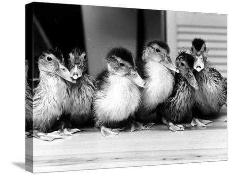 Six Ducklings Who were Abandoned by Their Mother, Being Given Swimming Lessons, July 1977--Stretched Canvas Print