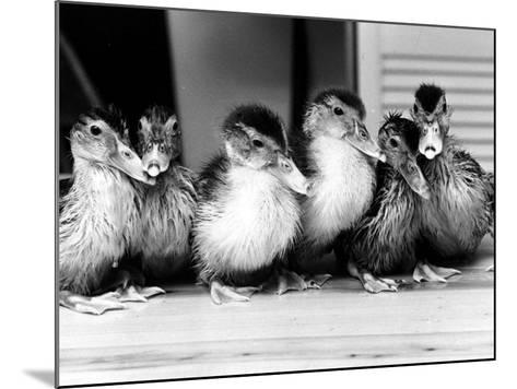 Six Ducklings Who were Abandoned by Their Mother, Being Given Swimming Lessons, July 1977--Mounted Photographic Print
