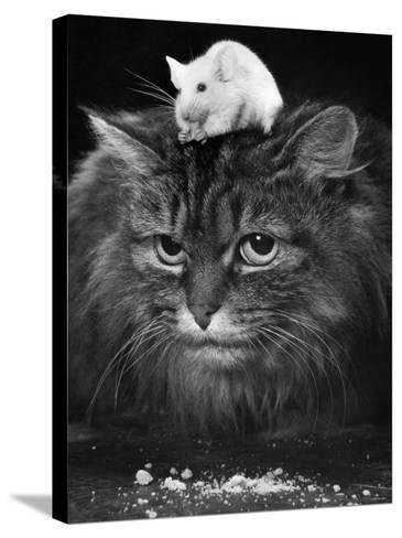 Animal Friendships: Cats and Mice--Stretched Canvas Print