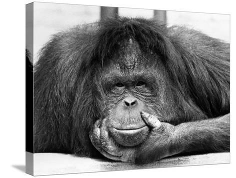 Frequent Pastime For the Crowds at Chessington Zoo in Surrey is staring at Tuan, the Orangutang--Stretched Canvas Print