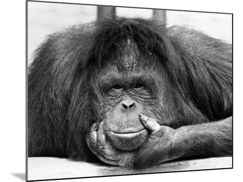 Frequent Pastime For the Crowds at Chessington Zoo in Surrey is staring at Tuan, the Orangutang--Mounted Photographic Print