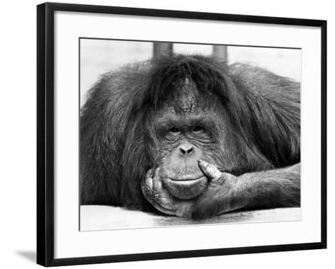 Frequent Pastime For the Crowds at Chessington Zoo in Surrey is staring at Tuan, the Orangutang--Framed Art Print