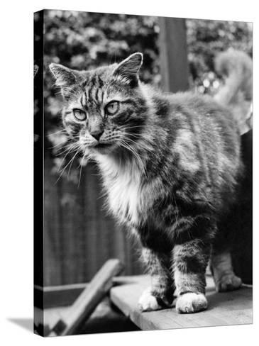 Fluff the Boss Cat at the Battersea Dog's Home, May 1967--Stretched Canvas Print