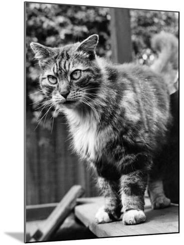Fluff the Boss Cat at the Battersea Dog's Home, May 1967--Mounted Photographic Print
