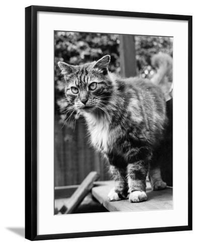 Fluff the Boss Cat at the Battersea Dog's Home, May 1967--Framed Art Print