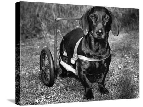 Moss the Dashshund in a Canine Wheelchair with the Slipped Disc, June 1960--Stretched Canvas Print