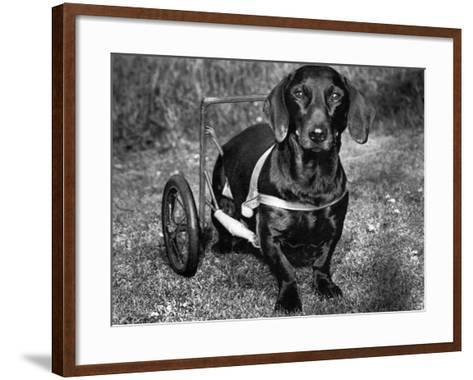 Moss the Dashshund in a Canine Wheelchair with the Slipped Disc, June 1960--Framed Art Print