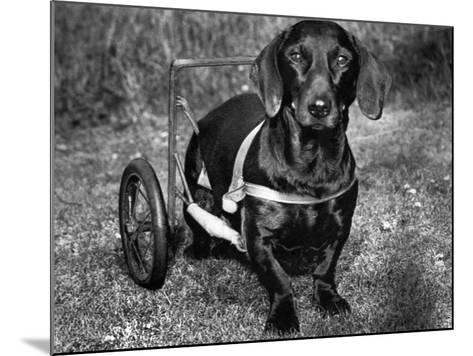 Moss the Dashshund in a Canine Wheelchair with the Slipped Disc, June 1960--Mounted Photographic Print
