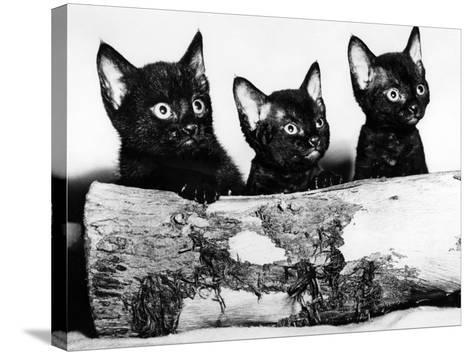 Kittens Hiding Behind Log. November 1965--Stretched Canvas Print