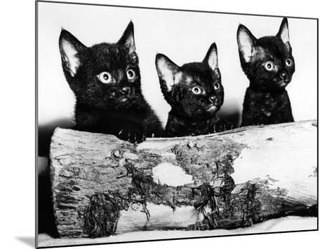 Kittens Hiding Behind Log. November 1965--Mounted Photographic Print