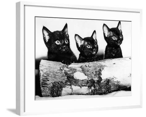 Kittens Hiding Behind Log. November 1965--Framed Art Print