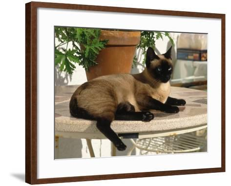 Siamese Cat Resting on Table Top-Gareth Rockliffe-Framed Art Print