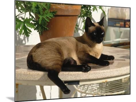 Siamese Cat Resting on Table Top-Gareth Rockliffe-Mounted Photographic Print