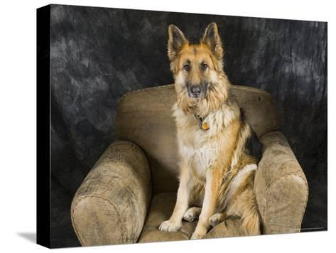 German Shepherd on Leather Chair in the Studio-David Edwards-Stretched Canvas Print