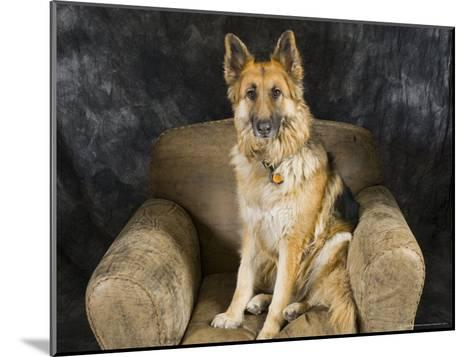 German Shepherd on Leather Chair in the Studio-David Edwards-Mounted Photographic Print