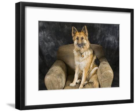 German Shepherd on Leather Chair in the Studio-David Edwards-Framed Art Print