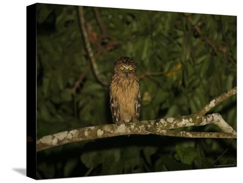 Front View of a Buffy Fish Owl-Tim Laman-Stretched Canvas Print