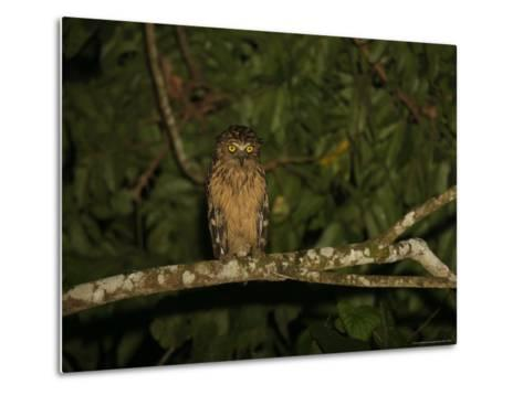 Front View of a Buffy Fish Owl-Tim Laman-Metal Print