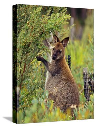 Bennetts Wallaby Feeding on Vegetation in a Re-Vegetation Program-Jason Edwards-Stretched Canvas Print