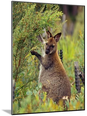 Bennetts Wallaby Feeding on Vegetation in a Re-Vegetation Program-Jason Edwards-Mounted Photographic Print