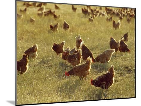 Flock of Free Range Chickens on an Open Grassland Farm Plain-Jason Edwards-Mounted Photographic Print