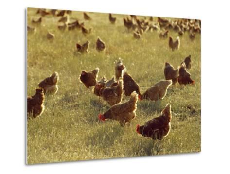 Flock of Free Range Chickens on an Open Grassland Farm Plain-Jason Edwards-Metal Print