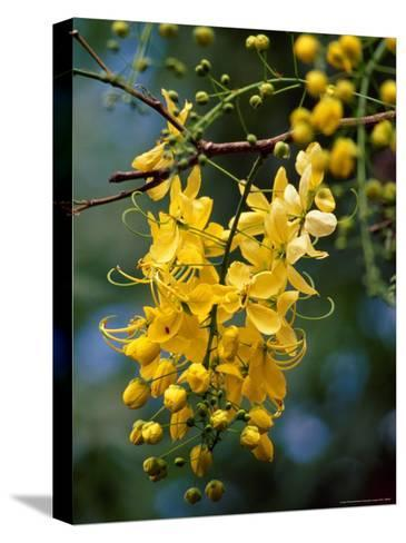 Cluster of Flowers Cascades From a Golden Shower Tree-Jason Edwards-Stretched Canvas Print