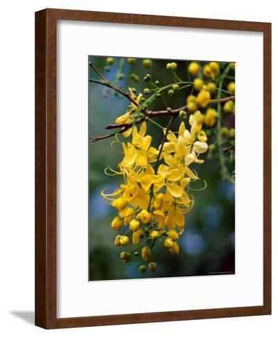 Cluster of Flowers Cascades From a Golden Shower Tree-Jason Edwards-Framed Art Print