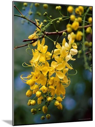 Cluster of Flowers Cascades From a Golden Shower Tree-Jason Edwards-Mounted Photographic Print