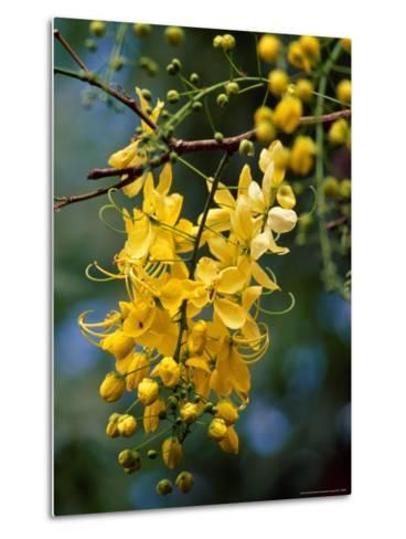 Cluster of Flowers Cascades From a Golden Shower Tree-Jason Edwards-Metal Print