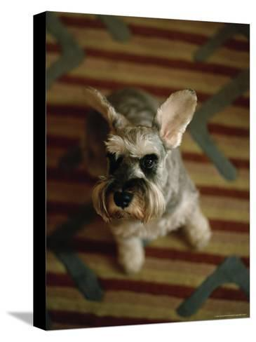 Miniature Schnauzer Dog Looks at the Camera-xPacifica-Stretched Canvas Print