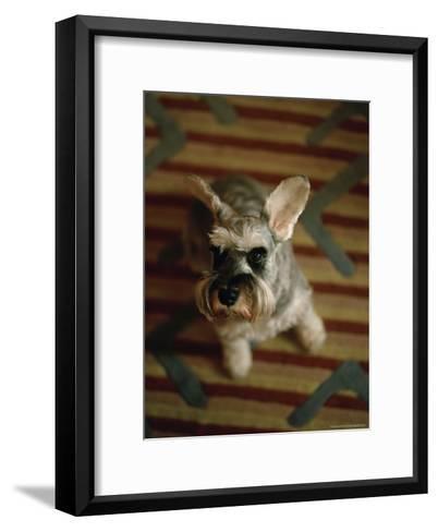 Miniature Schnauzer Dog Looks at the Camera-xPacifica-Framed Art Print