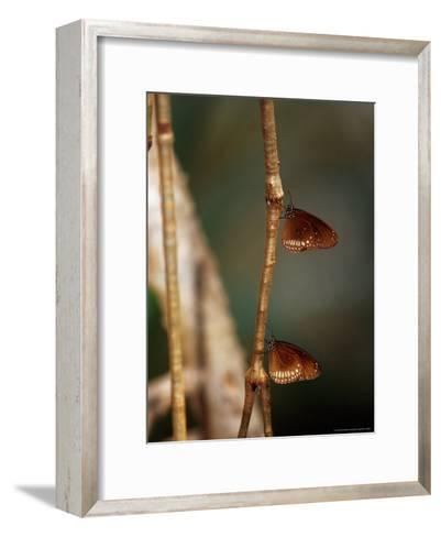 Pair of Common Indian Crow Butterflies Roosting on a Vine-Jason Edwards-Framed Art Print