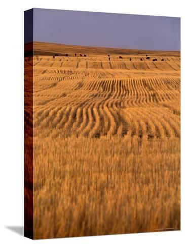 Cattle Graze Rows of Harvested, Dry-Farmed Wheat-Gordon Wiltsie-Stretched Canvas Print