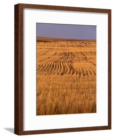 Cattle Graze Rows of Harvested, Dry-Farmed Wheat-Gordon Wiltsie-Framed Art Print