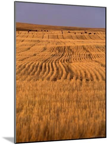 Cattle Graze Rows of Harvested, Dry-Farmed Wheat-Gordon Wiltsie-Mounted Photographic Print