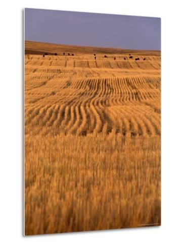 Cattle Graze Rows of Harvested, Dry-Farmed Wheat-Gordon Wiltsie-Metal Print