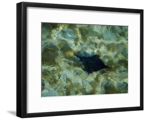 Manta Ray Glides Through the Coral Waters of the Barrier Reef-Bobby Haas-Framed Art Print