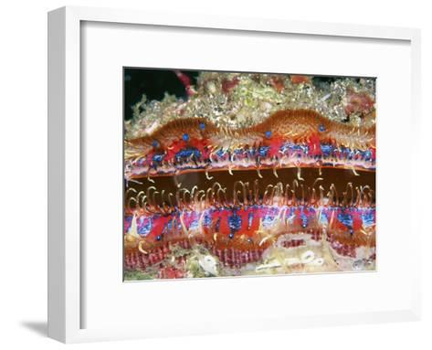Tiny Blue Eyes Line the Edge of a Scallop's Mantle-Wolcott Henry-Framed Art Print