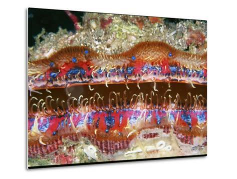 Tiny Blue Eyes Line the Edge of a Scallop's Mantle-Wolcott Henry-Metal Print