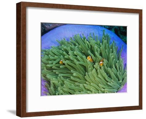 Anemonefish Take Shelter in a Magnificent Sea Anemone-Wolcott Henry-Framed Art Print