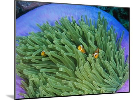 Anemonefish Take Shelter in a Magnificent Sea Anemone-Wolcott Henry-Mounted Photographic Print