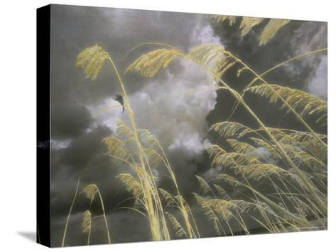 Sea Oats Grow Along a Dune on a South Carolina Barrier Island-Annie Griffiths Belt-Stretched Canvas Print